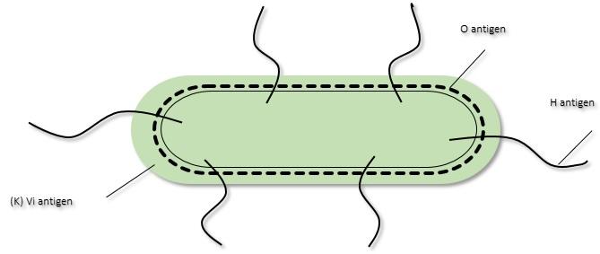 K Antigen Bacteria General Microbi...